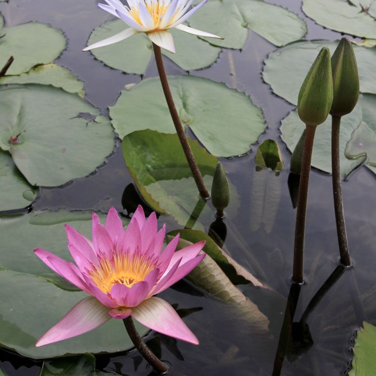 Pink and white water lilies