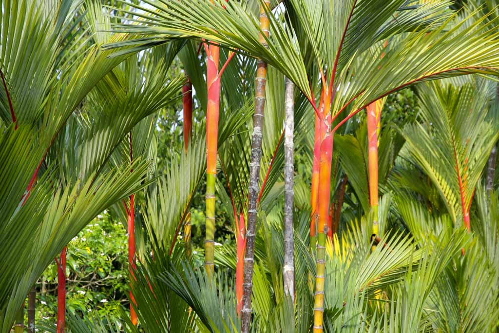 Cyrtostachys renda, commonly known as Lipstick Palm