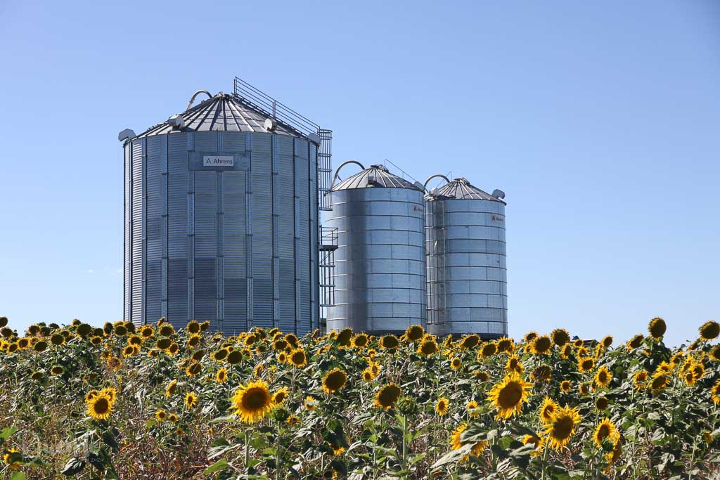 Silos and sunflowers, Allora, Queensland