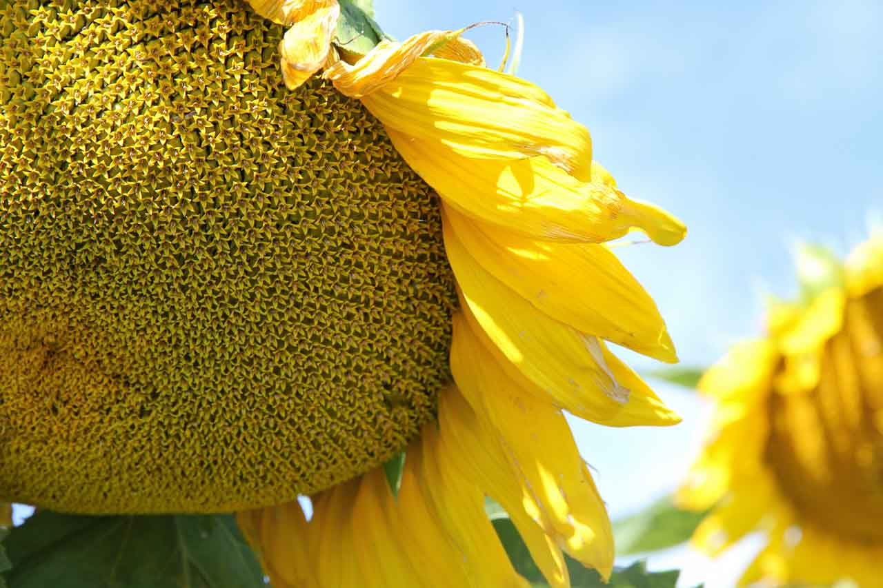 Photo of a sunflower's disc flowers