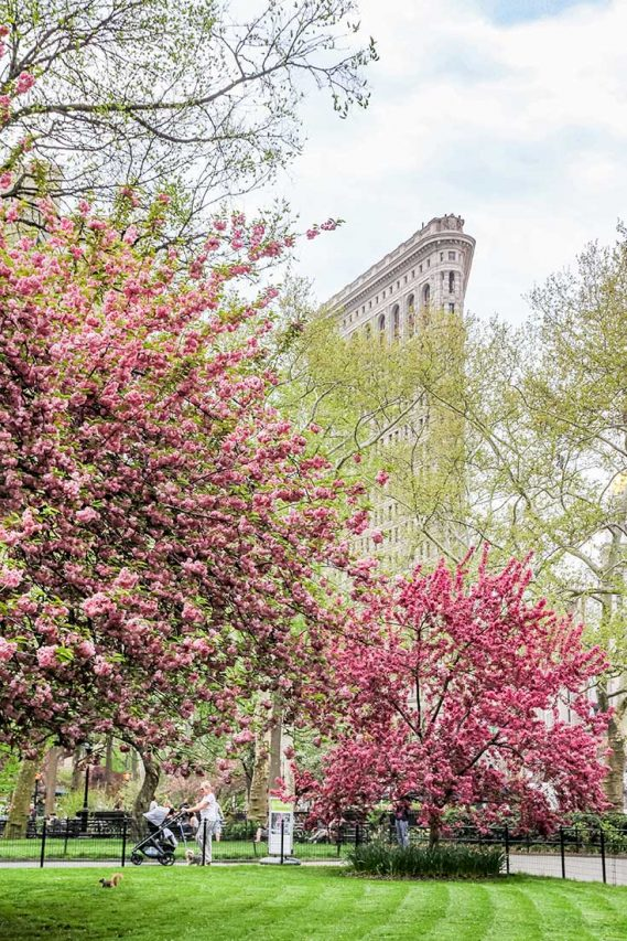 The Flat Iron building with trees covered in pink blossoms in the foreground