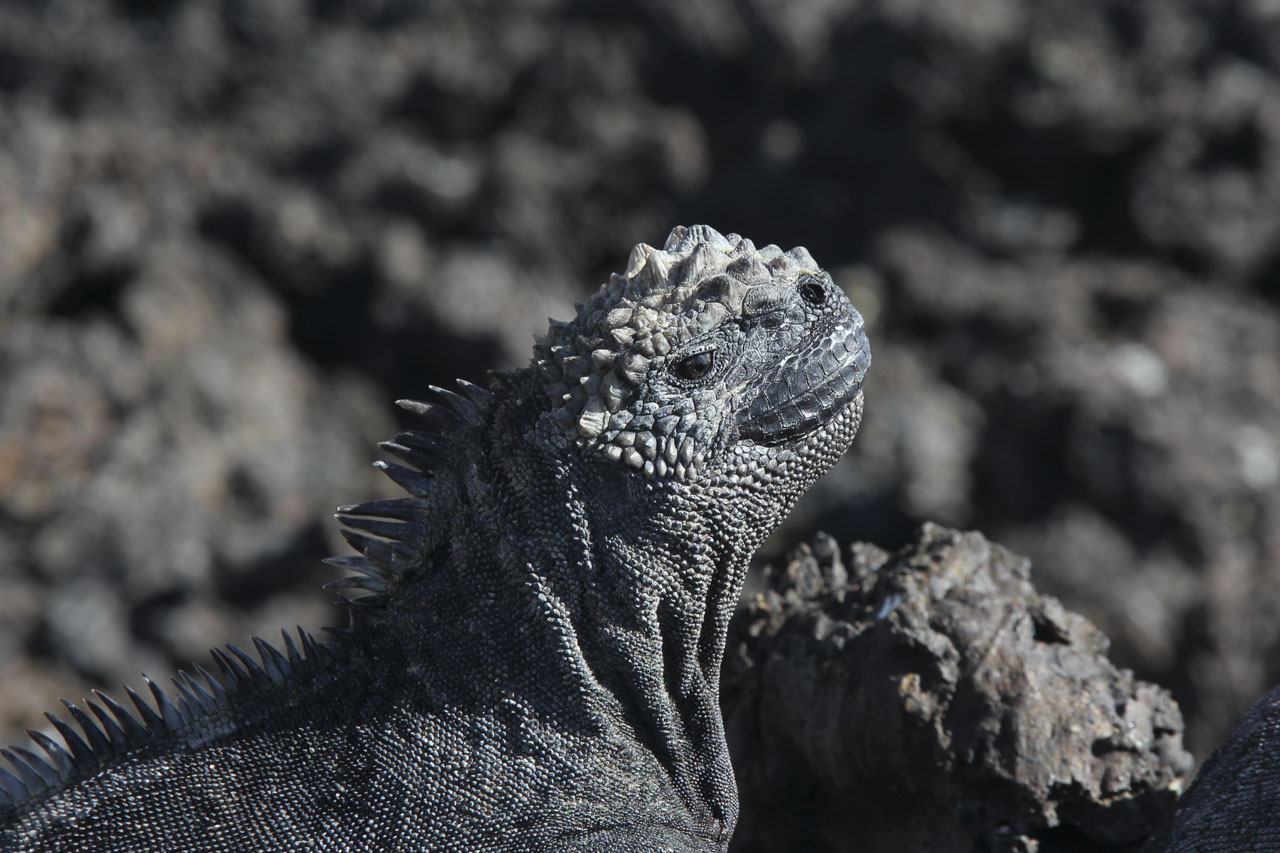 Marine Iguana sunbathing among black volcanic rock