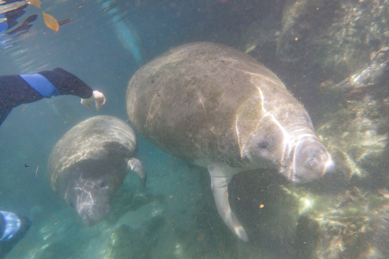 Manatee mother and calf swimming side by side