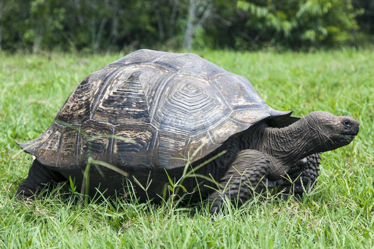 Galapagos Tortise walking through grass