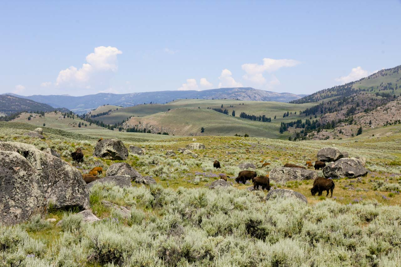 Bison feeding on the sagebrush steppe, among boulders left behind by a retreating glacier