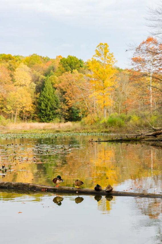 Lake with ducks perched on a floating log in foreground and golden autumn foliage in the background.