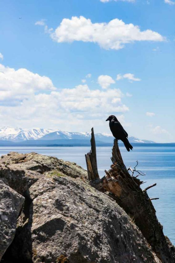 A raven on the banks of Lake Yellowstone with snow-capped mountains in the background.