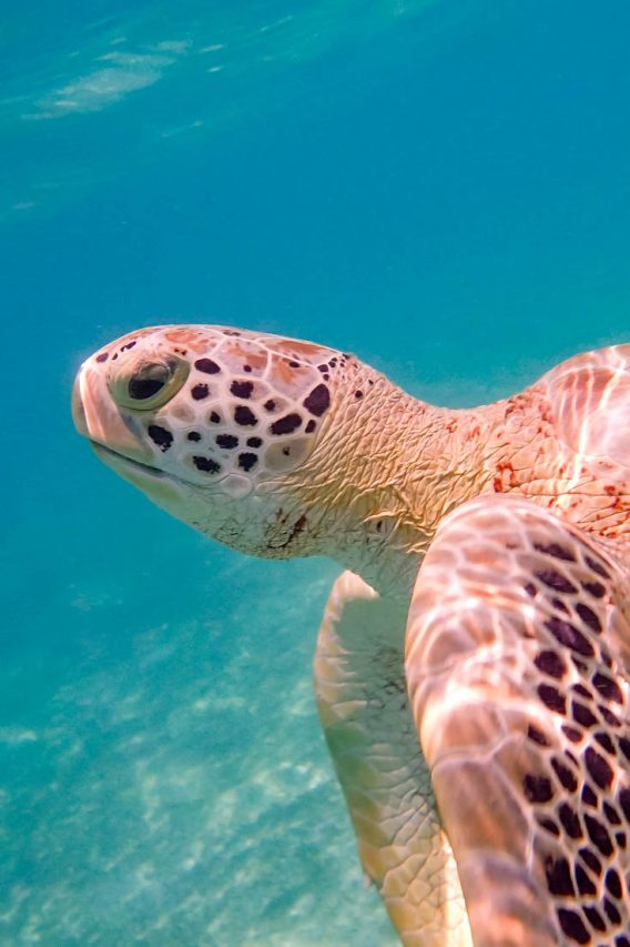 Sea turtle in greenish water with sandy bottom
