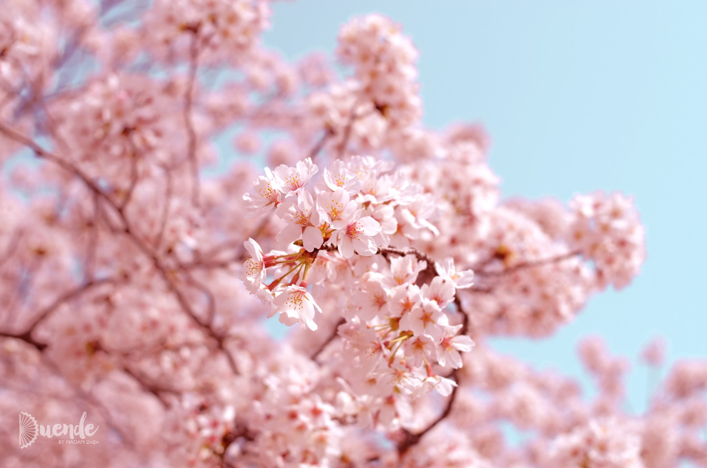 The Ultimate Guide To Cherry Blossoms In Japan And Beyond