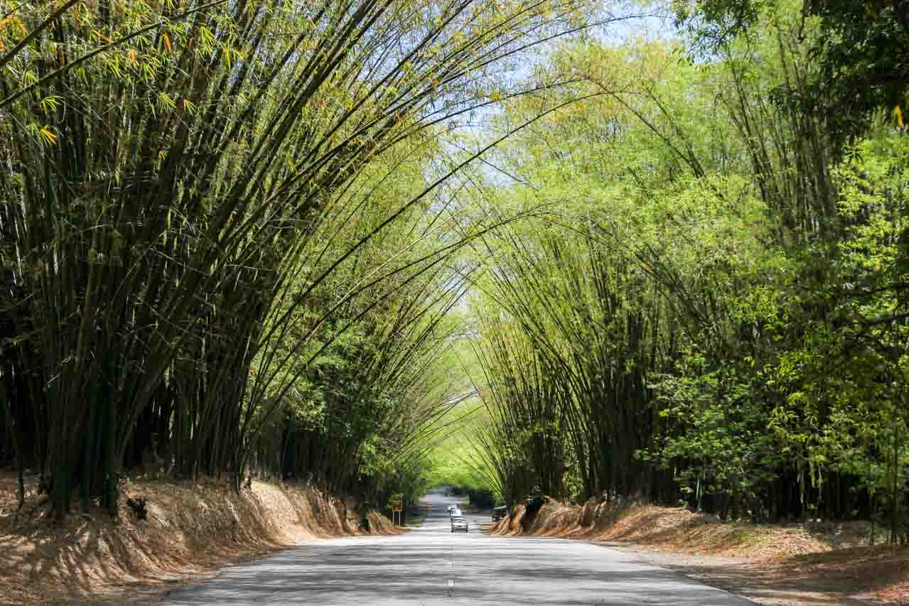 Road lined with giant bamboo