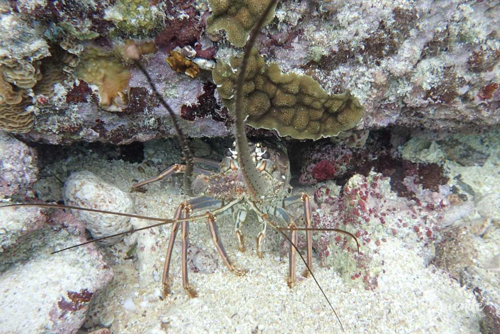 Grumpy crayfish peering out of the wreck