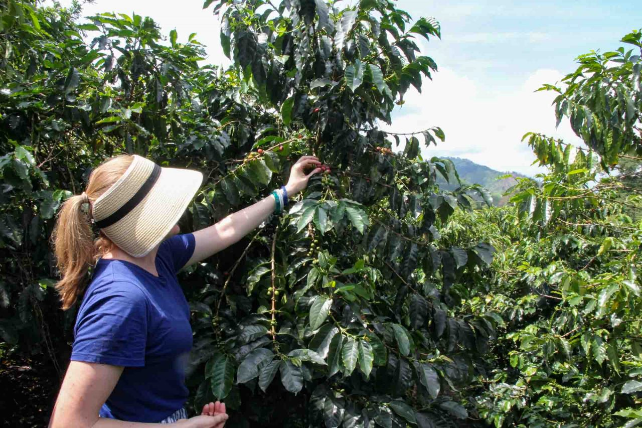 Woman in straw hat picking red coffee cherries in plantation