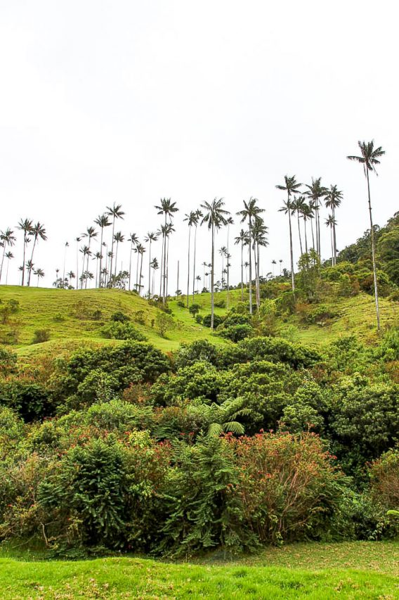 Lush valley with towering Wax Palms