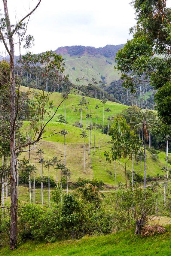 Vallley of Wax Palms and Eucalptus trees in the Colombia Coffee Region