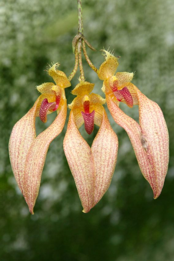 Three orange and yellow orchids with elongated shape