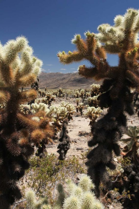 Cholla cacti with mountains in background
