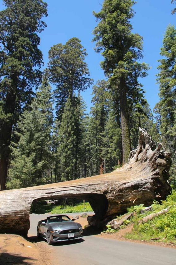 Grey, convertible Mustang driving through cutting in giant sequoia fallen across the road