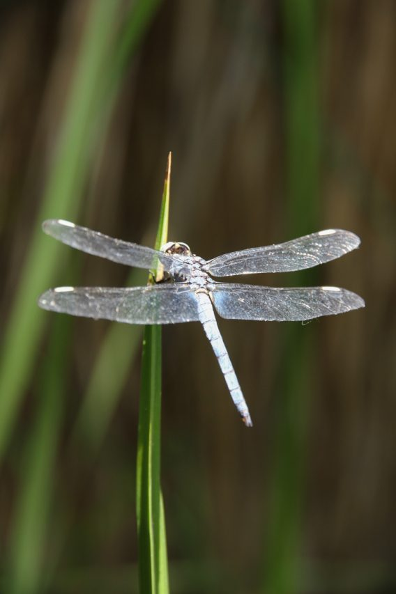 Dragonfly resting on foliage