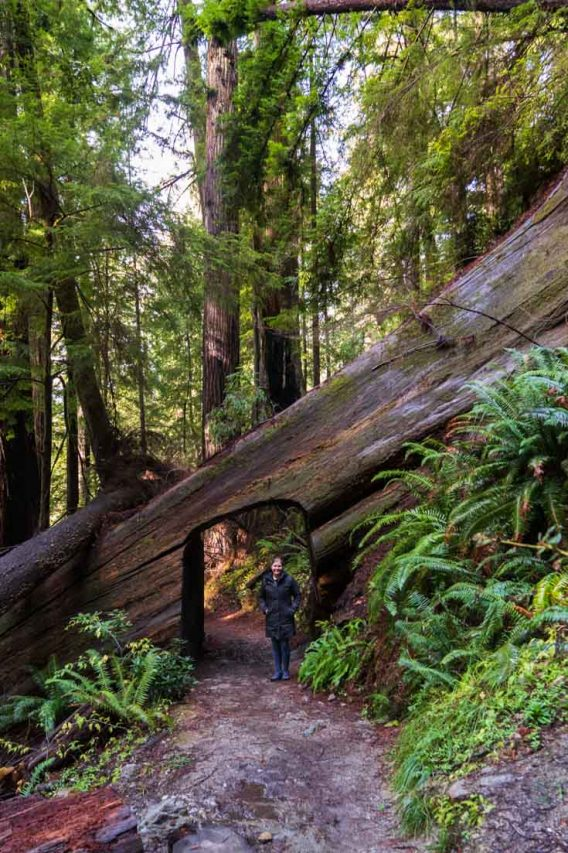 Woman standing in arch carved out of giant fallen Redwood tree lying across hiking trail.