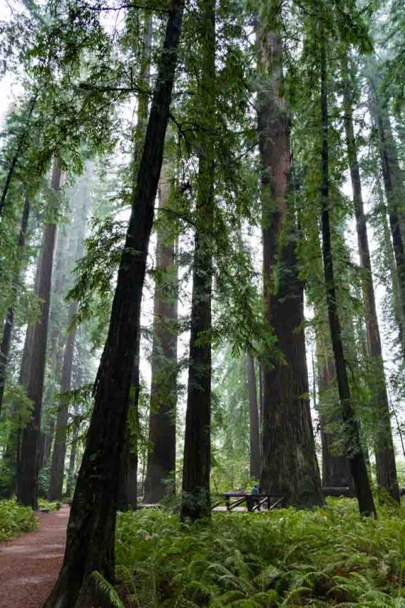 Stout Grove Trail in Jedediah Smith Redwoods State Park