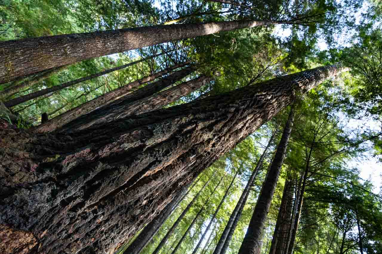 Redwoods on the Ladybird Johnson Trail   Californian Redwood Forests