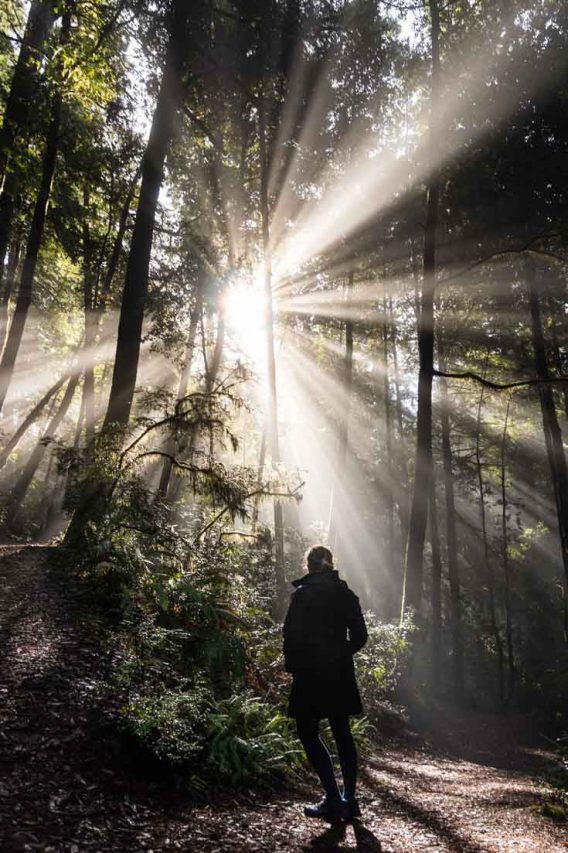 Sunbeams on the Tall Tree Grove Trail in Redwood National Park
