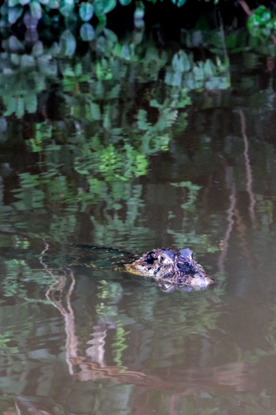 Black caiman swimming with head above the surface of the Lake.