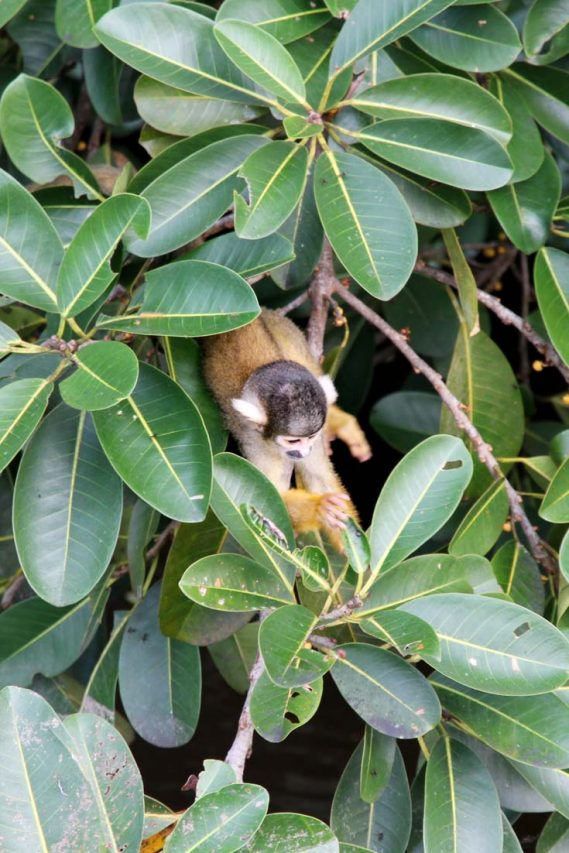 Squirrel monkey pearing out from foliage