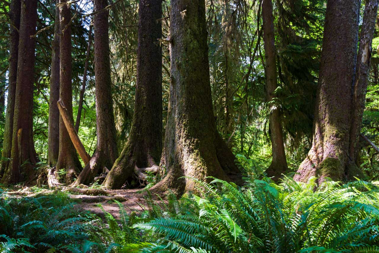 Photo of large conifers with ferns in foreground