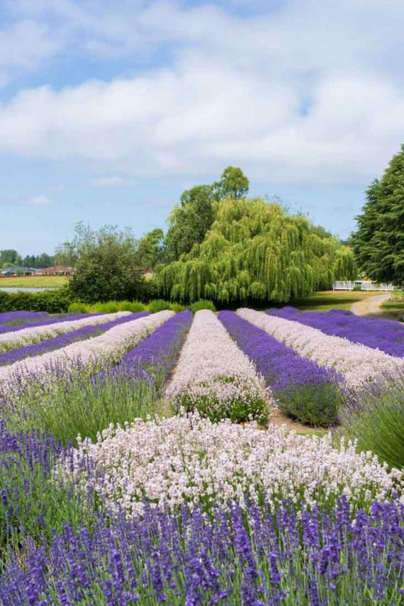 Rows of lavender in alternating colours with willow tree in background